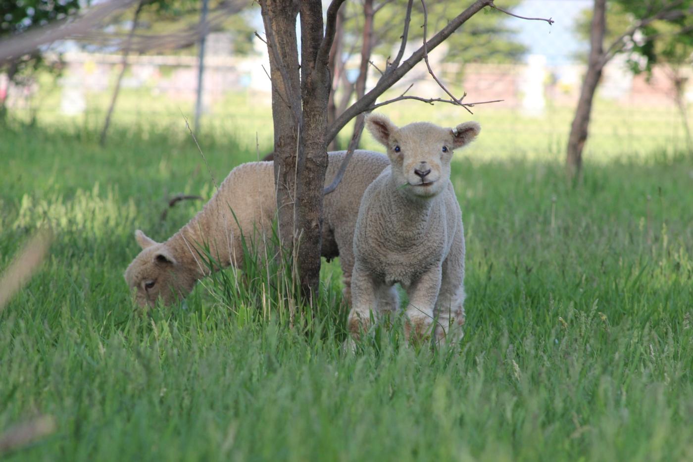 Kindergarten Farm – Babydoll Southdown Sheep and Miniature
