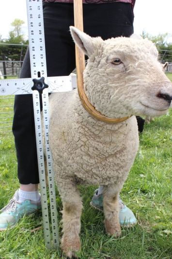 Measuring - our ewes have been in the 19-22 inches range.