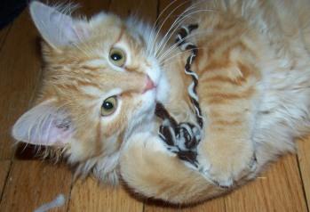 Jack the cat finds a scrap of homespun yarn.