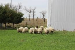 Weanling ewes