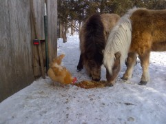 Jasper and Dusty, investigating the chicken scraps.