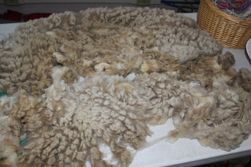 Millie's fleece, skirted and ready for washing