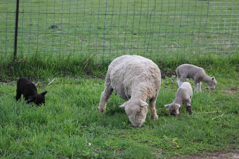 Snowball and her triplets at one week. Two rams and a ewe.