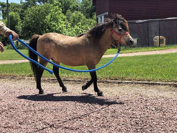 shetland-pony-stallion